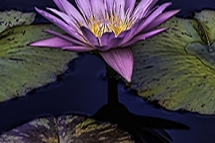 Waterlily and Shadow