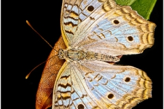 Butterfly MG 6633 (3)