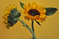 Sunflower Duo