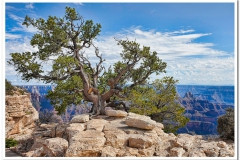 North Rim Juniper