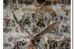 Ducks Over Waterfall