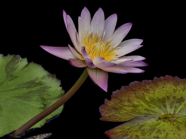 Water Lily at Phipps