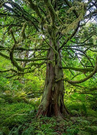 Oregon Tree
